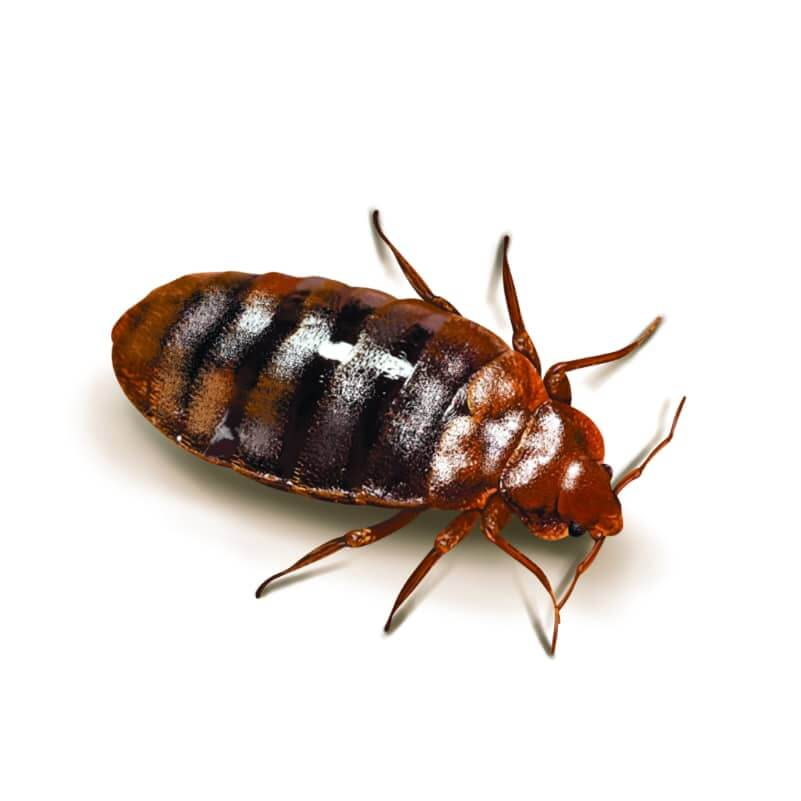 bed bug pest control eagleshield