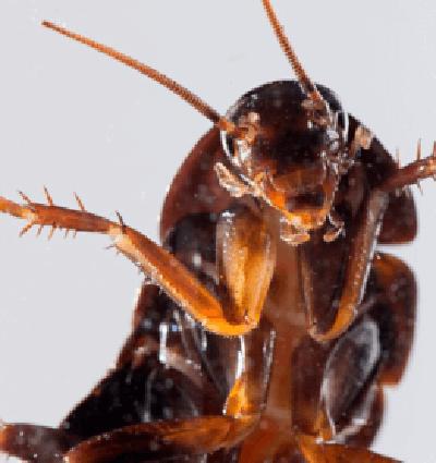 cockroach 2 1