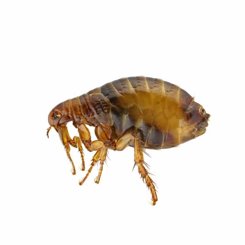 flea pest control eagleshield