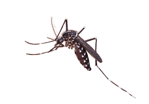 mosquito2