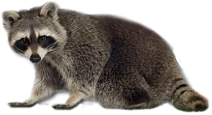 raccoon PNG16974