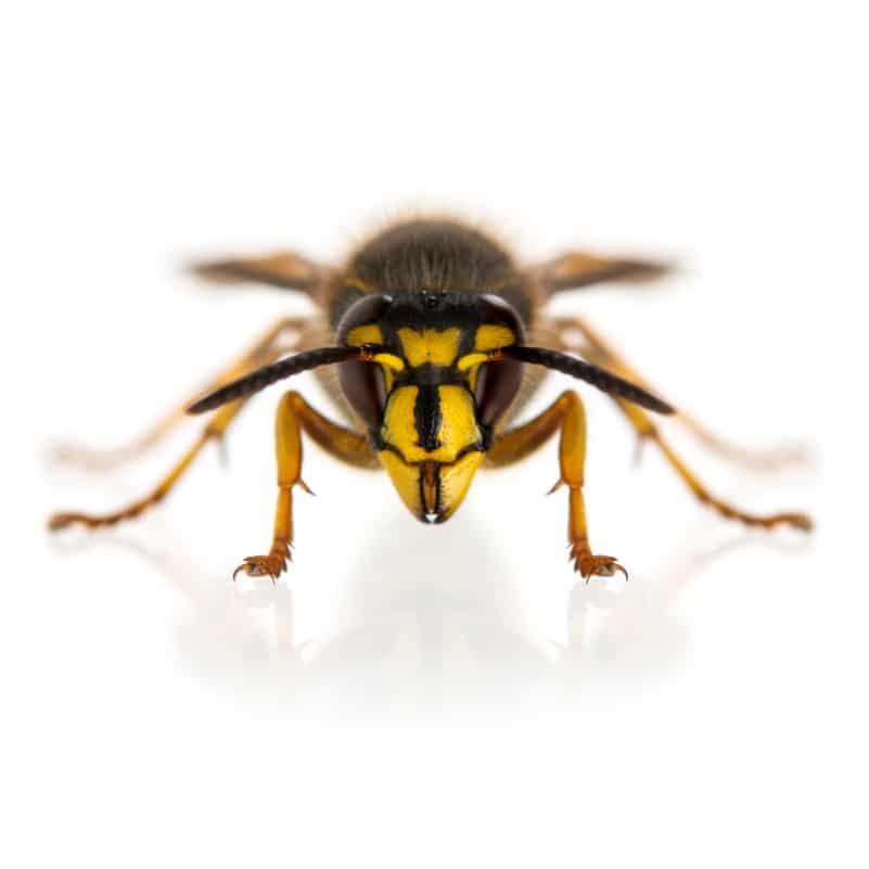wasps eagleshield pest control